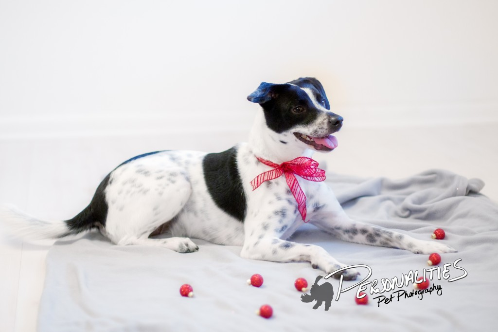 Christmas Pet Portraits Arkansas